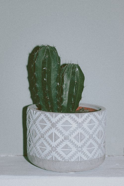 Chichipe cacti growing in pot placed on shelf
