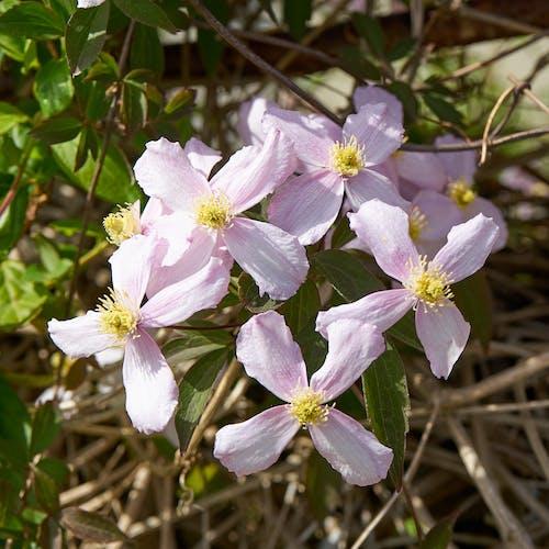 Fotobanka sbezplatnými fotkami na tému botanique, fleur blanches, flore, jardin