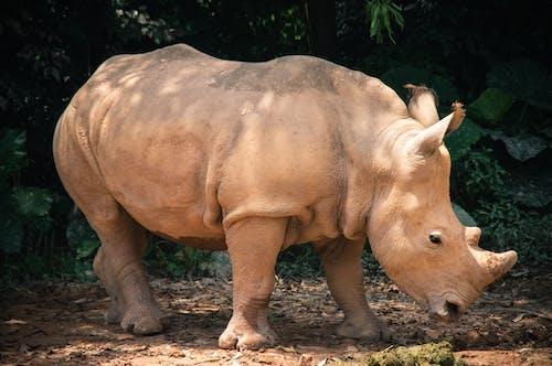 Rhinoceros walking on dry terrain in zoo