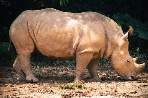 From above side view of calm rhinoceros eating grass on dry terrain in zoo in sunlight