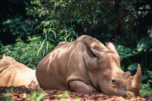 Rhinoceros resting near green trees in zoo