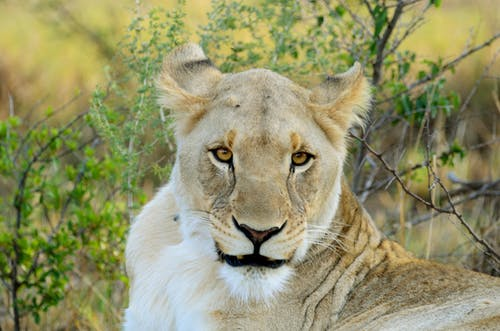 Focused lioness with fluffy fur looking at camera while lying near bright twigs with leaves in summer
