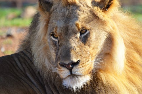 Pondering lion with shining mane resting in zoological garden