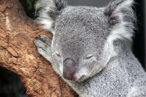 Close-up Photo of Sleeping Koala