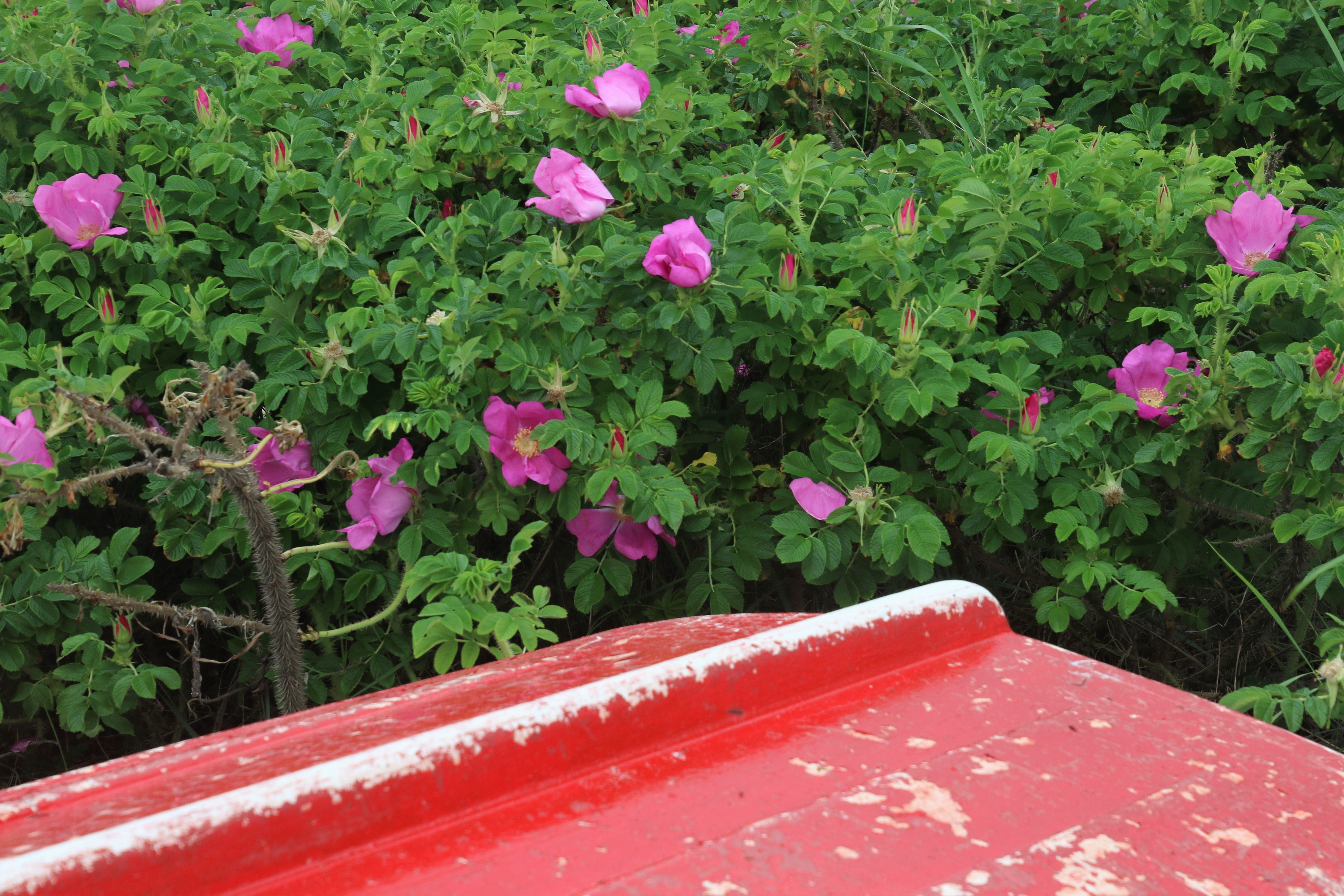 Free stock photo of red, flowers, garden, boat