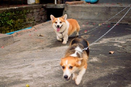 Cheerful Pembroke Welsh Corgi dogs strolling on street