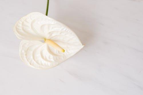 Foto d'estoc gratuïta de amable, anturium, aroma, aromàtic