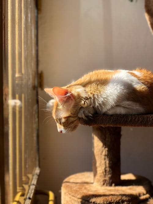 Fluffy cat lying on scratching post and looking out window in bright sunny day