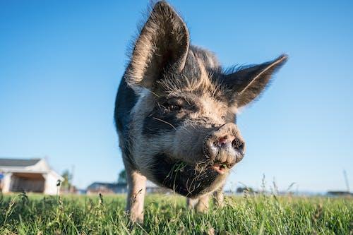 Curious pig in enclosure in village