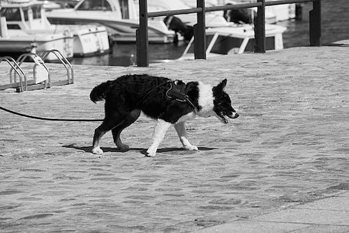 Photos gratuites de canin, chien, laisse, pavés