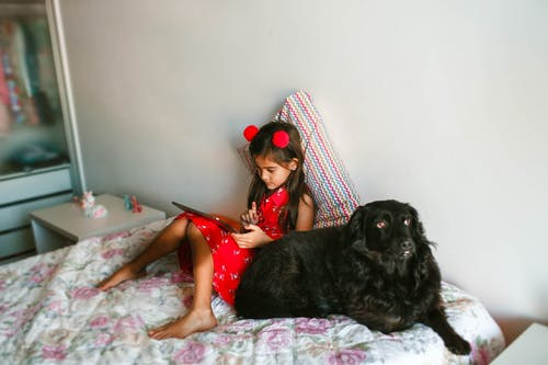 From above full body concentrated girl in red dress lying on comfy bed with black Spaniel dog and using tablet