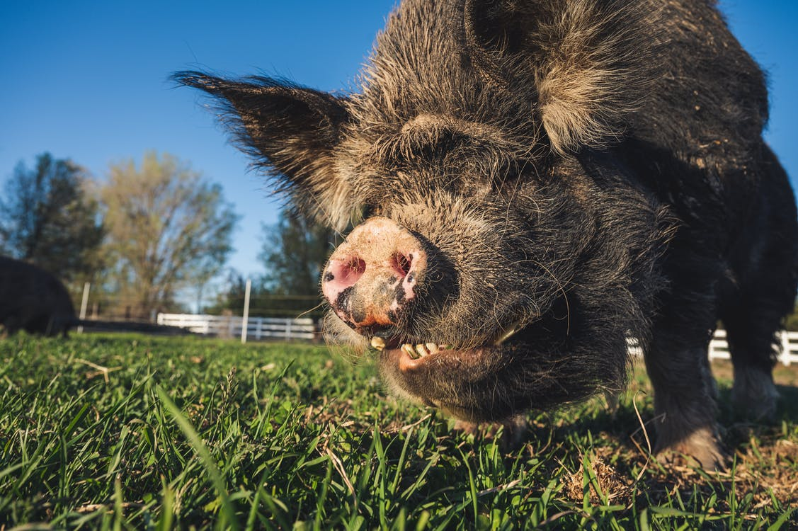 Low angle of pig with gray fur and big snout feeding on grass lawn under blue sky in summer on farm