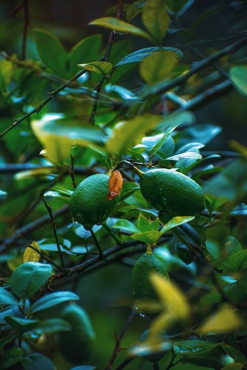 Kostnadsfri bild av bangladesh, citron, citronträd, fotografi