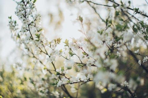 Fotos de stock gratuitas de al aire libre, apple, árbol, brotar