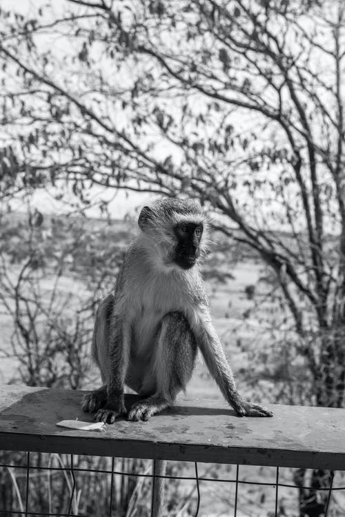 Monkey Sitting on Rock in Grayscale Photography