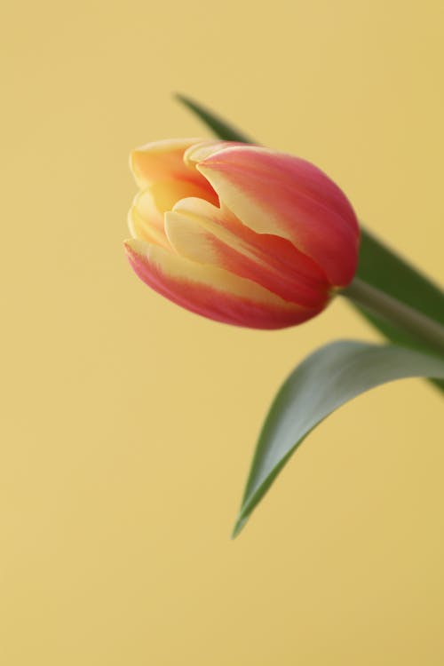 Pink and Yellow Tulip in Bloom Close Up Photo
