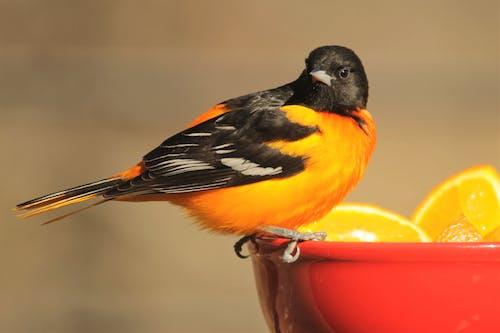 Free stock photo of birds, nature, oriole