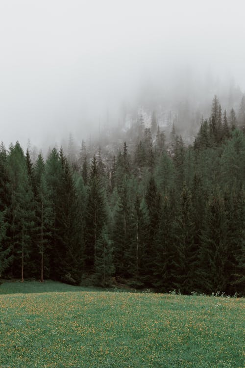 Green Pine Trees on Green Grass Field during Foggy Weather