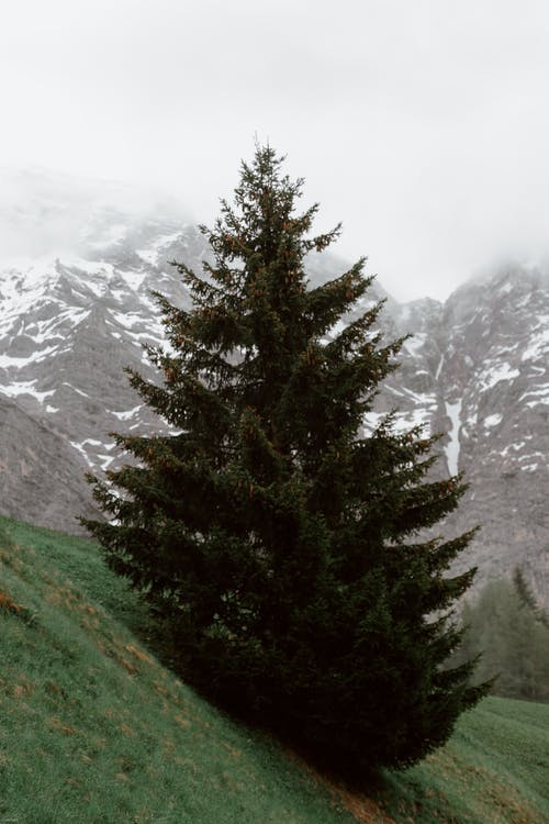 Spruce on mountain slope in valley