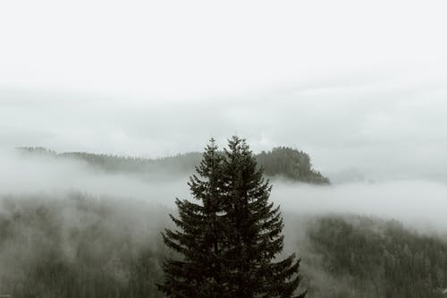 Green Pine Trees on Foggy Weather