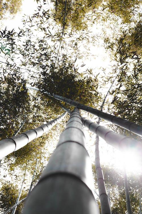 คลังภาพถ่ายฟรี ของ ต้นไผ่, ต้นไม้สูง, ป่าไผ่