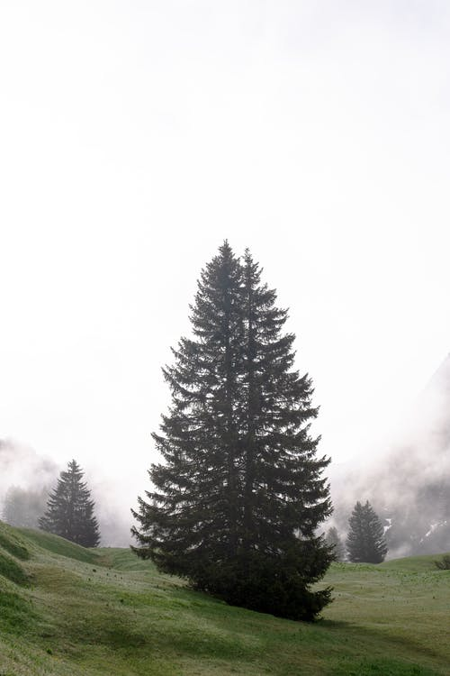 Firs growing on grassy misty lawn