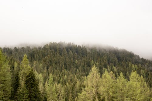 Evergreen forest on foggy day