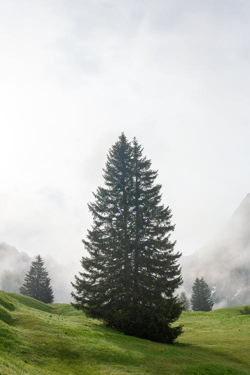 Evergreen tree on slope in highlands