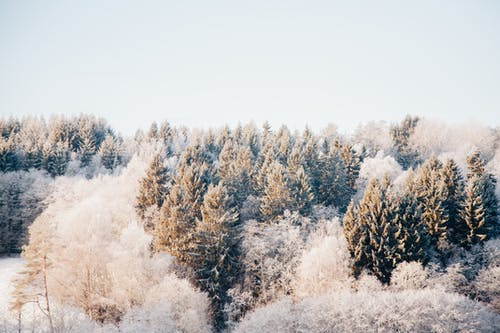 Coniferous forest covered by snow on winter day