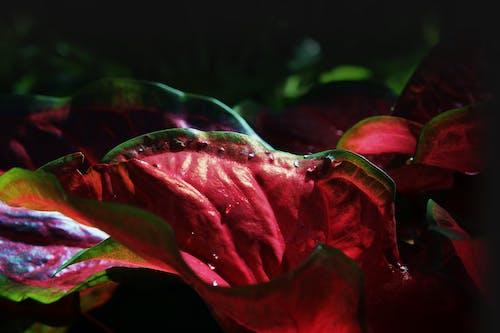 Free stock photo of botany, macro, nature, red