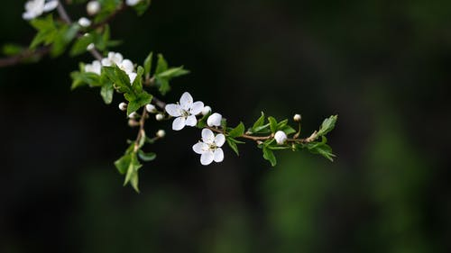 White blossoming flowers growing on thin twig with small spiky leaves on blurred background