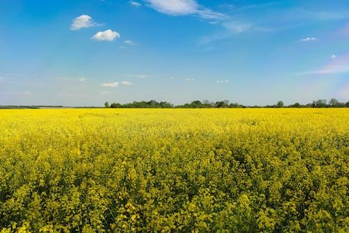 Gratis stockfoto met aardolie, akkerland, bloem, bloemen