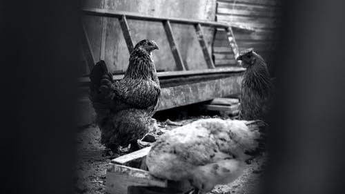 Black and white of big chicken feeding and strolling in wooden hen house