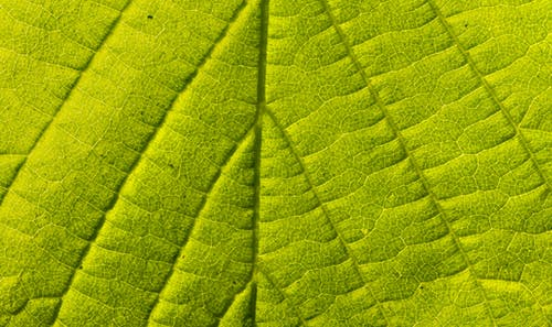 Textured backdrop of bright green leaf with veins