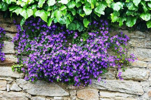 Photos gratuites de ã © tã ©, bleu, botanique, campanules