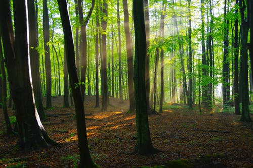 Sunbeam illuminating tree trunks in forest at dawn