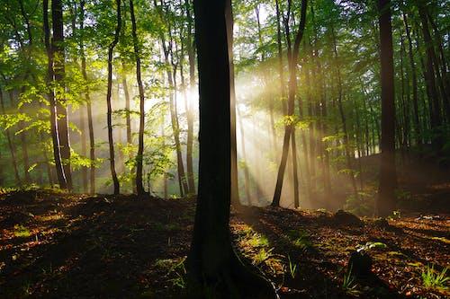 Bright sunbeams illuminating tree trunks in woods at sunrise