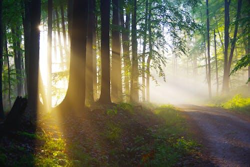 Glowing sun rays illuminating walkway between trees in forest