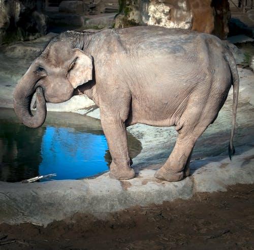 Безкоштовне стокове фото на тему «азіатський слон, зоопарк тварин, індійський, індійський слон»