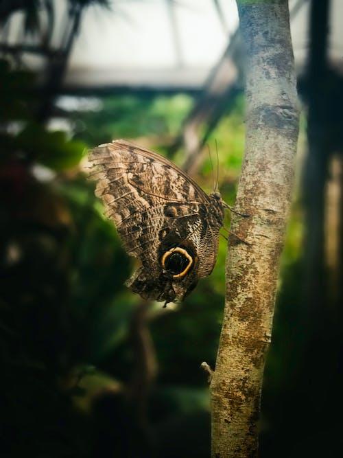 Безкоштовне стокове фото на тему «комаха, коричневий метелик, крила, Метелик»