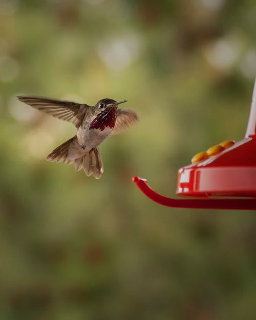 Brown Humming Bird Flying