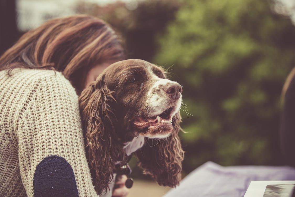 Free stock photo of Cavalier King Charles Spaniel, dog, dog owner