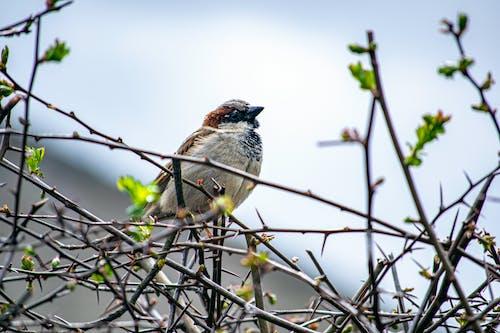 Безкоштовне стокове фото на тему «Горобець, Дике життя, дикий птах, диких птахів»