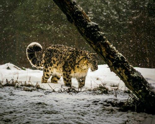 Безкоштовне стокове фото на тему «великий кіт, дика кішка, зима, м'ясоїдні»