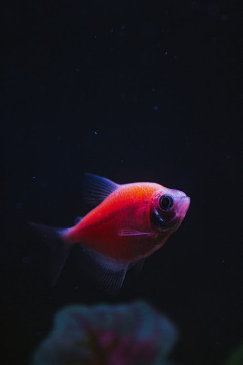 Orange and Silver Fish in Water