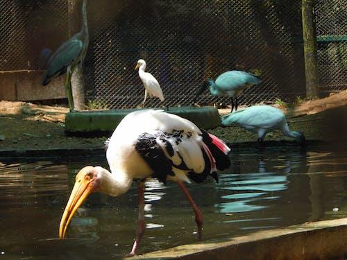 Free stock photo of #crane #pelican #nature #water