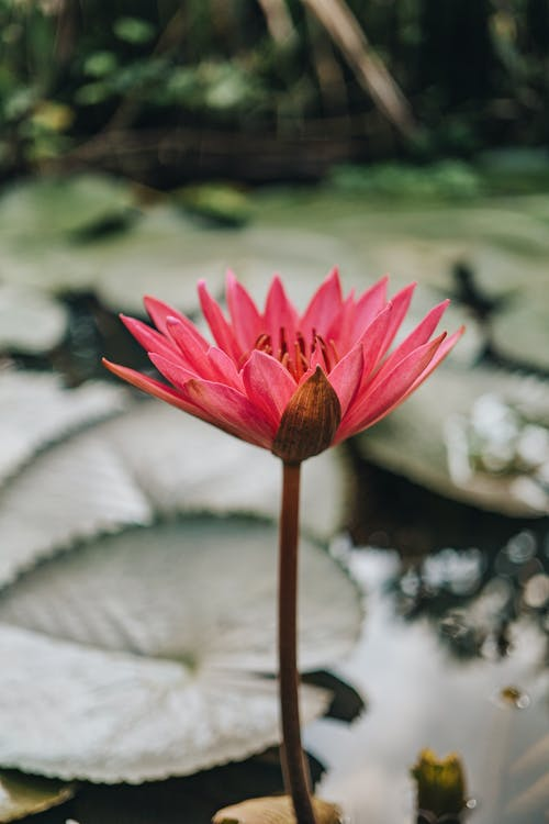 Pink Water Lily in Bloom