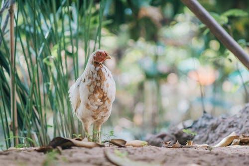 Fotos de stock gratuitas de al aire libre, animal, aves de corral, césped