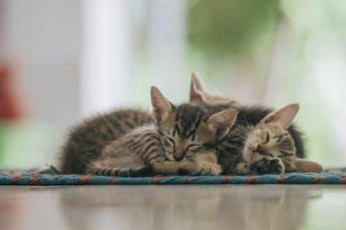 Foto stok gratis anak kucing, belum tua, berbulu halus, binatang