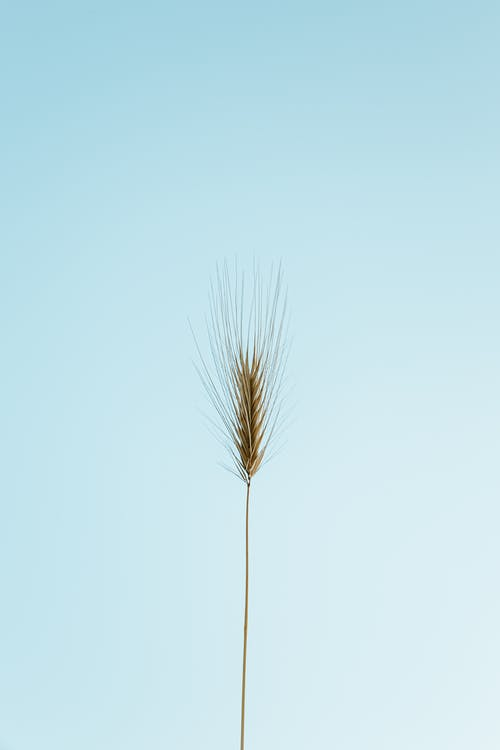 Spikelet against blue cloudless sky